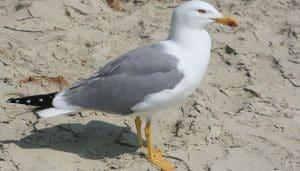Gaviota Patiamarilla en la playa