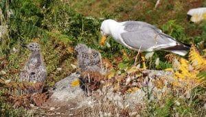 Gaviota Patiamarilla (Larus Michahellis) y sus polluelos