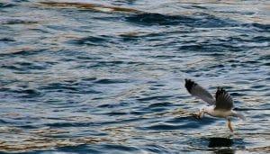 La Gaviota Patiamarilla (Larus Michahellis) pescando