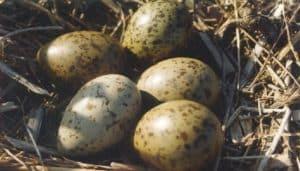 Huevos de la Gaviota Reidora (Chroicocephalus ridibundus)