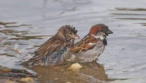 Gorrión Común (Passer domesticus) dandose un baño