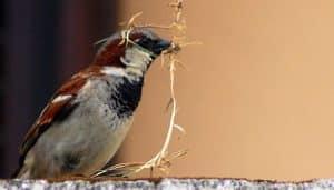 Gorrión Común (Passer domesticus) con material para el nido