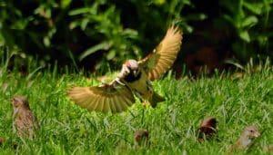 Gorrión Común (Passer domesticus) con sus alas extendidas