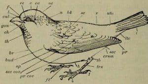 Las partes del cuerpo del Gorrión Común