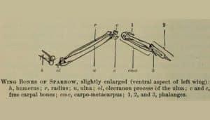 Huesos del ala del Gorrión Común