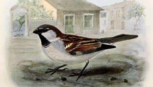 Bello dibujo del Gorrión Común (Passer domesticus)