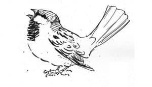 Bello dibujo del Gorrión Común