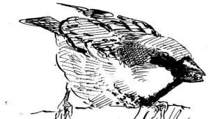 Dibujo del Gorrión Común (Passer domesticus) Alimentándose