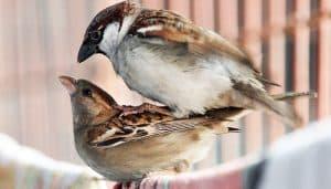 Gorriones Comunes (Passer domesticus) copulando