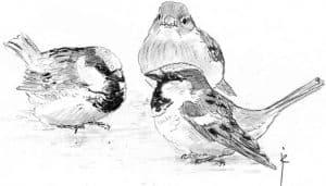 Dibujo de tres Gorriones Comunes (Passer domesticus)