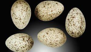 Los huevos del Gorrión Común (Passer domesticus)