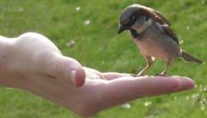 Gorrión Común en la mano de una persona