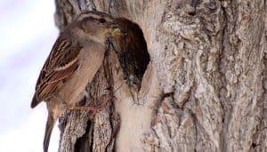 Nido del Gorrión Común en un árbol