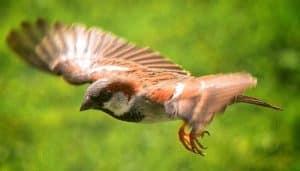 Gorrión Común (Passer domesticus) volando
