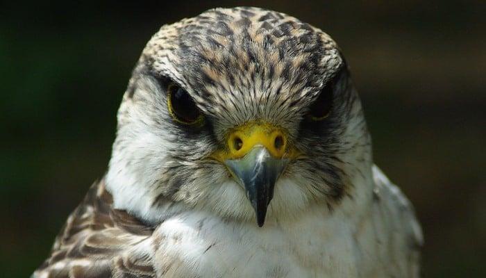 El gran Halcón Peregrino (Falco peregrinus)