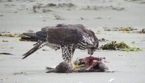 Halcón Peregrino (Falco peregrinus) alimentándose
