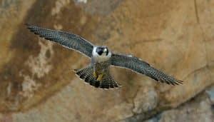 Halcón Falco peregrinus volando