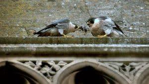 Dos Halcones Peregrino (Falco peregrinus) en la ciudad