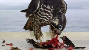 El Halcón Peregrino (Falco peregrinus) comiendo