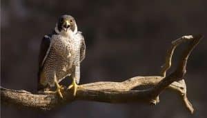 El hermoso Halcón Peregrino sobre una rama