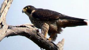 Halcón Falco peregrinus sobre una rama