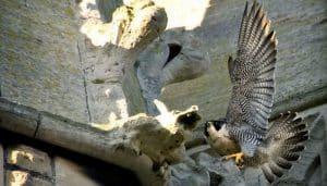 Halcón Falco peregrinus en un monumento