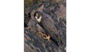 El gran ejemplar de Halcón Peregrino (Falco peregrinus)