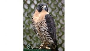 Halcón Peregrino (Falco peregrinus) amaestrado