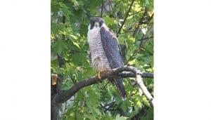 Halcón Peregrino sobre una rama
