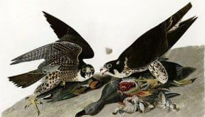 Ilustración de Halcones Peregrino comiendo