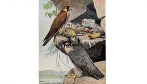 Ilustración del Halcón Peregrino (Falco peregrinus)