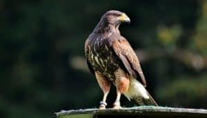 Halcón Peregrino (Falco peregrinus)