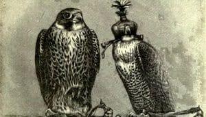 Ilustración del Halcón Falco peregrinus