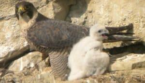 Cría del Halcón Peregrino (Falco peregrinus)