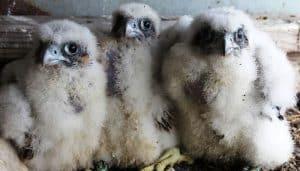 Pequeñas crías del Halcón Peregrino (Falco peregrinus)