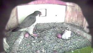 El Halcón Peregrino (Falco peregrinus) en su nido