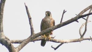 Halcón Peregrino (Falco peregrinus) posando en una rama