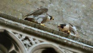 Halcón Peregrino (Falco peregrinus) en un monumento