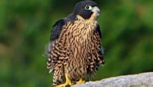 Halcón Peregrino (Falco peregrinus) parado en una roca