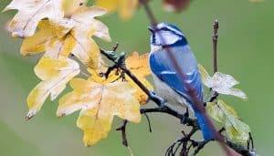 Hermoso Herrerillo Común (Cyanistes caeruleus) azul