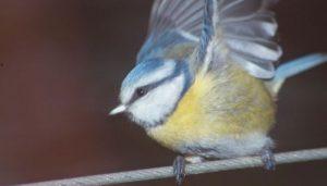 El Herrerillo Común mostrando sus alas