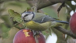 Herrerillo Común (Cyanistes caeruleus) comiendo fruta