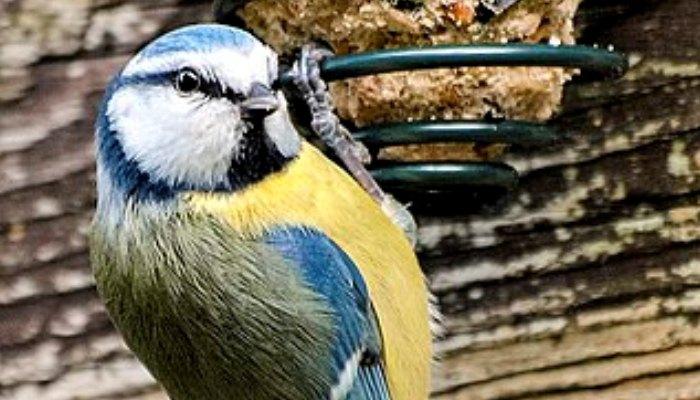Hermoso Herrerillo Cyanistes caeruleus comiendo