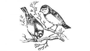 Dos Herrerillos Comunes (Cyanistes caeruleus) en dibujo