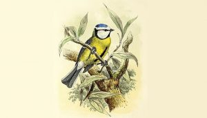 Dibujo del Herrerillo Común (Cyanistes caeruleus)