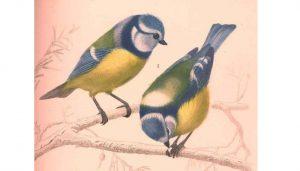 Ilustración de dos Herrerillos Comunes (Cyanistes caeruleus)