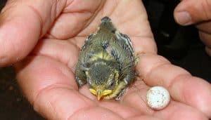 Cría y huevo del Herrerillo Común (Cyanistes caeruleus)