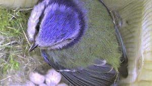 Herrerillo Común (Cyanistes caeruleus) en el nido