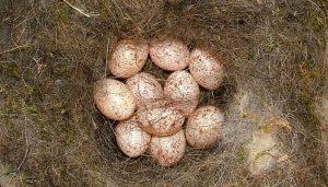Los huevos del Herrerillo Cyanistes caeruleus