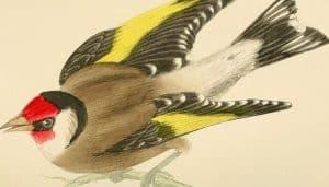 Cardelina (Carduelis carduelis) en dibujo